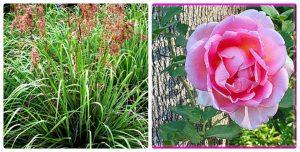 bi mat ve tinh dau hoa hong