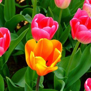 tinh dau tulip nguyen chat